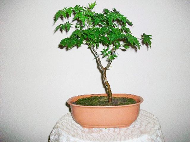 cay-xoan-bonsai
