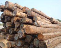 Gỗ sồi Nam Mỹ là gì? Các thông tin cơ bản về gỗ sồi Nam Mỹ